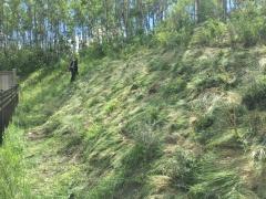 Naturalization project, Aspen Woods, Calgary AB