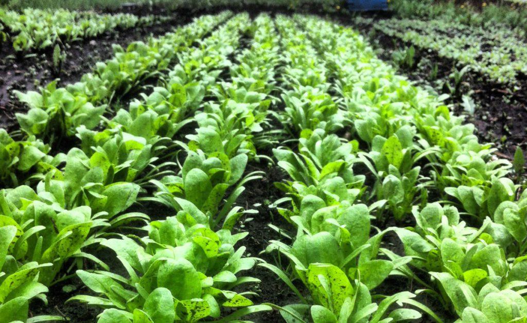 SPIN-farming, high intensity production, Leaf Ninja urban farming